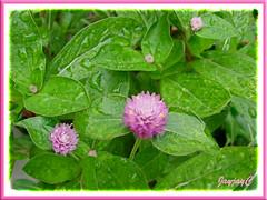 Pink-coloured Gomphrena globosa #2