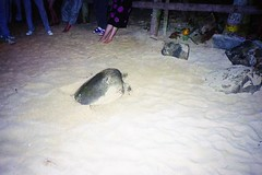 930201 015Turtle for Dinner (rona.h) Tags: 1993 cacique ronah