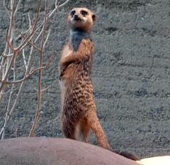 Meercat (Abi Skipp) Tags: zoo switzerland basel meercat