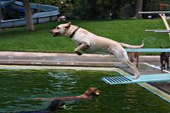 Dog days (AMagill) Tags: dog water pool swimming jumping diving running