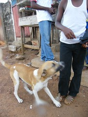 Sellu's dog, Lion, Freetown (Karen Hlynsky) Tags: sierraleone westafrica freetown karenhlynsky