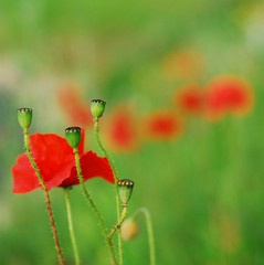 Poppy Red.... ( Little Gems ) Tags: red summer garden 50mm poppies derry naute nesswoods