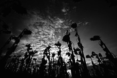 Un mal sueño (Leandro MA) Tags: amanecer siluetas serrada girasoles leandroma