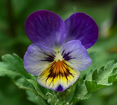 Pansy (Liisamaria) Tags: friends beautifulshot languageofflowers royalgroup diamondheart citrit diamondstars excellentflowers natureislovely macrolovers flowersbudsandblossoms qualitypixels awesomeblossoms oneflowerperday angelawards unforgettableflowers perfectpetails pansyworld