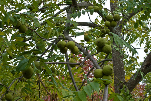 Edible Forest Gardens: black walnuts in husks