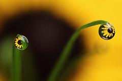 Leaving the dark side - flower dewdrop refraction (Lord V) Tags: flower macro water dewdrop refraction alemdagqualityonlyclub