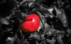 red apple (aomel23) Tags: red apple rouge pomme