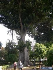 Magnolio Centenario