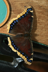Mourning Cloak butterfly.   IMG_0261-1.jpg (David Freuthal) Tags: blue brown butterfly insect ma massachusetts newengland magicwings mourningcloak nymphalisantiopa canonefs60mmf28macrousm southdeerfieldma ctflickrmeetup