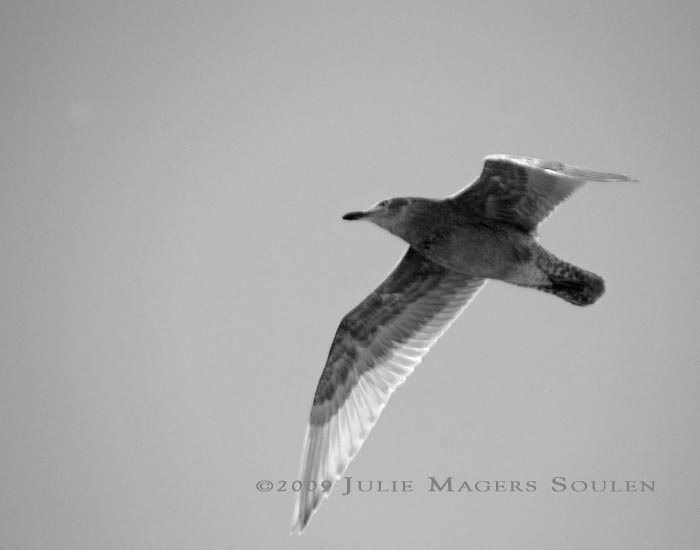 black and white seagull in flight photograph