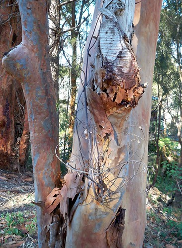 Bark fallen from pink gum