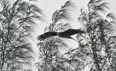 Black Kite Hunting IMG_5747xw.jpg (jingbar) Tags: canon14xteleconverter bobthompson canon7d canon400mmf56lens
