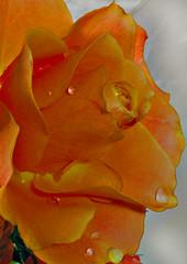 Going back to my roots (scorpion (13)) Tags: friends orange sun flower macro nature beauty rose droplets blossom soe supershot fantasticflower mywinners anawesomeshot diamondclassphotographer flickrdiamond citrit theunforgettablepictures betterthangood goldstaraward bestofroses thegoldenflower rubyphotographer gr8photos ~nuovoenvyofflickr~ newgoldenseal