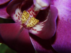 Orchid (Terry P1974) Tags: orchid flower macro nature beautiful lumix amazing interesting natural panasonic g1 oxfordshire witney macroexperiment
