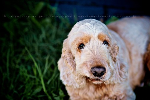 Cheeky Cocker Spaniel Buddy by twoguineapigs pet photography, dog portrait
