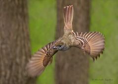 _53F5795 Great Crested Flycatcher (~ Michaela Sagatova ~) Tags: bird nature dundas bif birdinflight greatcrestedflycatcher myiarchuscrinitus birdphotography dvca michaelasagatova