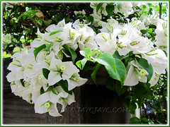 Bougainvillea 'Miss Alice' with snowy white bracts