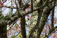 紅頭山雀 (Hamster620) Tags: 台灣 taiwan 武陵農場 wulingfarm 動物 animal 鳥 bird