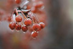 Iced Berries (lfeng1014) Tags: icedberries berries redberries iceglazedtrees glazed freezingrain winter macro macrophotography 100mmf28lmacroisusm canon5dmarkiii closeup bokeh depthoffield dof lifeng