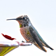 Anna's Hummingbird in Molt (Aurora Santiago Photography) Tags: annashummingbird molting