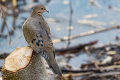 Mourning Dove (mayekarulhas) Tags: mourning dove wildlife wild 500mm canon johnheinz philadelphia avian bird