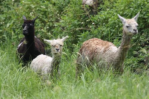 你拍攝的 29羊駝。