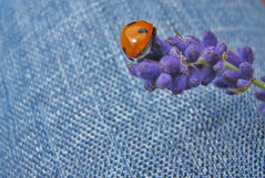 Let the Ladybird meet the jeans... (Rebecca Lawford) Tags: blue red flower nature canon bug lavender jeans ladybird lettheladybirdmeetthejeans