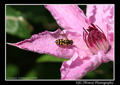 Space Invader (chetty3) Tags: pink flowers macro nature canon garden clematis bee sigma105mmf28 eos40d wonderfulworldofflowers
