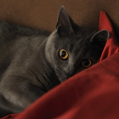 The crazy eyes of Douce when she plays (jmvnoos in Paris) Tags: red cats playing paris france eye home cat square rouge grey gris chats crazy eyes nikon chat play oeil yeux 100views 400views 300views 200views 500views maison fr douce mycat fou 800views 600views 700views chatte jeu 1000views chartreux folles folle d300 chattes jouer fous 15faves 30faves 900views 5faves jouant 50faves 10faves 20faves 40faves 35faves 100comments 25faves mywinners machatte jmvnoos catmoments 10favesext 15favesext 30favesext 20favesext 25favesext 40favesext vosplusbellesphotos saariysqualitypictures 5favesext 35favesext boc0809