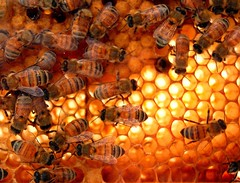 The Chamber of sweetness (GlossyEye.) Tags: world family original abejas food flower macro love nature beautiful beauty work insect photography la fly photo team nikon shot image sweet bees extreme group bugs bee 55mm honey photograph passion chamber sweetness technique fa colony teamwork 18mm panal buzzing bussing colseup differenza  lamicizia nikond40  thepowerofnow lamiciziafaladifferenzatheoriginalgroup arquictects
