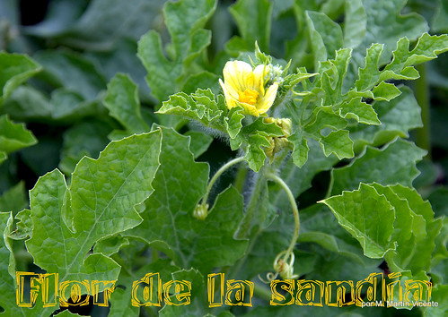 Flor de sandía
