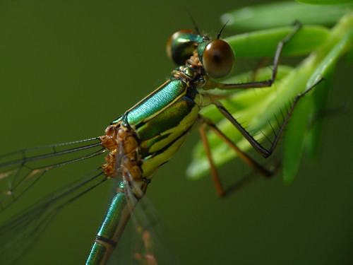 Hanging damselfly