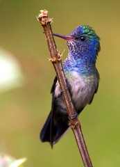 Beija-flor-roxo (White-chinned Sapphire) (Bertrando) Tags: nature birds hummingbird wildlife natureza aves pssaros soe colorphotoaward theunforgettablepictures whitechinnedsapphire natureselegantshots hylochariscyanus 100commentgroup panoramafotogrfico beijaflorroxo