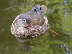 Duckmirror (Elly Snel) Tags: deutschland duck pond eend duitsland vijver gtersloh 15challengeswinner beginnerdigitalphotographychallengewinner beautifulworldchallenges