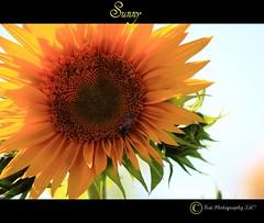 Sunny (herosipet) Tags: flower yellow petals bright sunny whitebackground sunflower swirl picnik canoneos40d herosipet tamronaf70mm300mmdild kaiphotogrraphy