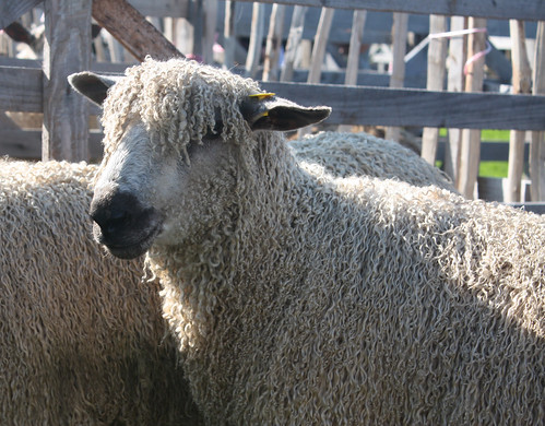 Curly coated sheep