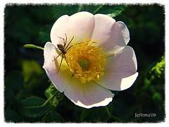 Sepúlveda (Segovia) Flor y araña (ferlomu) Tags: segovia ferlomu flor araña duraton sepulveda flower