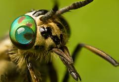 CHRYSOPS RELICTUS  #5 (GOLDENORFE) Tags: macro insect horsefly specanimal chrysopsrelictus macrolife macroandwonderfulshots yahoo:yourpictures=amazinginsects