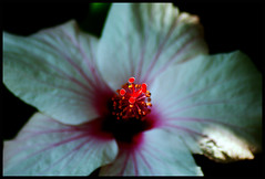 White + Red - Hibiscus (Chris McLoughlin) Tags: flowers red summer white holiday flower macro nature closeup garden southafrica day sony tamron a300 hazyview hotelgarden 70mm300mm sonya300 tamron70mm300mm sonyalpha300 alpha300 chrismcloughlin