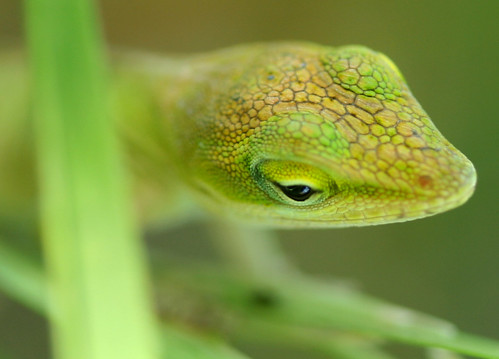 Sleepy Baby Anole