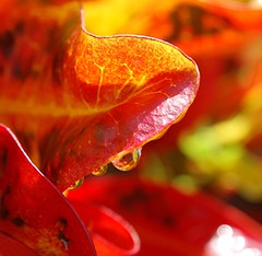 Morning light emblazons dripping wet red and gold Croton leaves (jungle mama) Tags: morning light red sun wet water yellow gold leaf waterdrop miami drop edge tropical vein croton shrub naturesgallery mywinners abigfave platinumphoto anawesomeshot flickrdiamond rubyphotographer 100commentgroup vosplusbellesphotos coppercloudsilvernsun wetcroton redandgoldcroton biscayneparkflorida waterdropsoncroton waterdropsonredandgoldleaves
