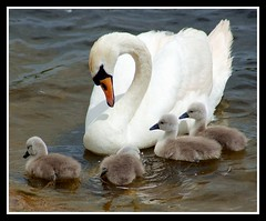 Pride.... (Levels Nature) Tags: uk england baby bird nature water birds bristol swan babies young cygnet waterbird somerset pride swans waterfowl mute cygnets muteswan chewvalleylake carlsbirdclub