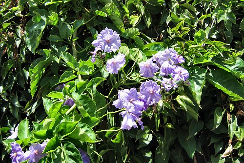 Solanum wendlandii (rq) - 01