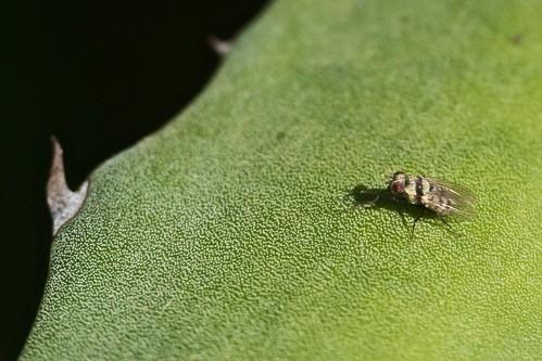 otraanthomyiidae no identificada