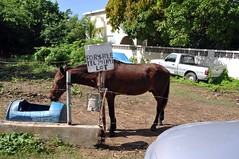 saddle not included (underwhelmer) Tags: vacation horse forsale puertorico caribbean vieques scr