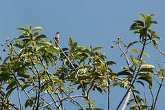 Banded Green S... (algaedoc) Tags: fbwnewbird fbwadded anthreptesrubritorques bandedgreensunbird