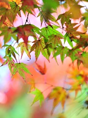 momiji (Jennifer ) Tags: autumn red green fall nature colors yellow japan zeiss temple kyoto carl     carlzeiss zf oohara  nikond700   distagont2821  zeisscontest2010