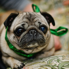 Xmas Pug by alexbrn, on Flickr