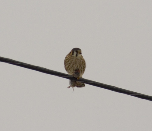 american kestrel with rodent_5