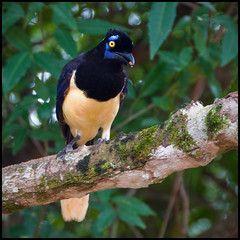Plush Crested Jay (Stuart-Lee) Tags: wild bird animal jay avian iguacu plushcrestedjay cyanocoraxchrysops igiuazu